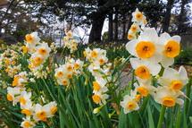咲き誇る水仙の花
