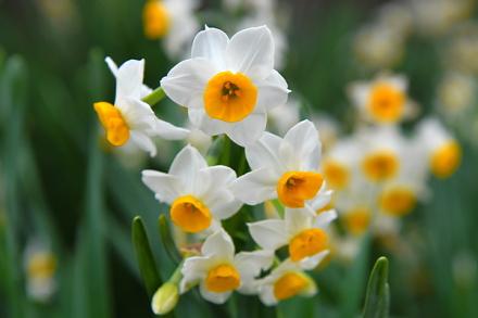 水仙の花をアップ