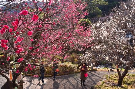 早咲きの梅が見頃に