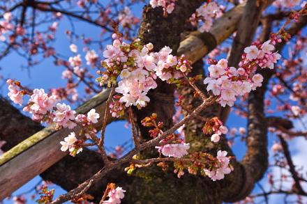 糸川沿いのあたみ桜が開花