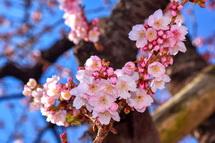 開花するあたみ桜をズームアップ