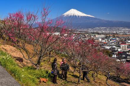 見頃の梅と富士山の風景を楽しむ