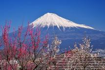 梅と富士山の風景