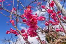 会場脇に植えられた紅梅の花