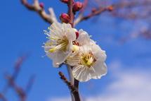 会場脇に植えられた白梅の花