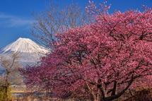 浮島沼釣り場公園の早咲き桜と富士山の風景