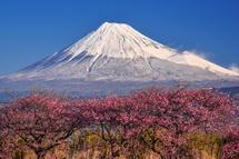 沼川沿いの桜と富士山の風景