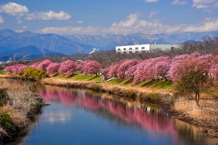 沼川沿いの早咲き桜並木