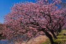 咲き誇る沼川沿いの早咲き桜