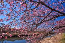 枝垂れるように咲く沼川沿いの早咲き桜