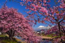 和田川下流の早咲き桜