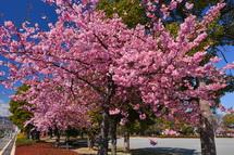 米の宮公園の早咲き桜