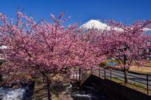 龍巌淵近くの用水路沿いの早咲き桜と富士山の風景