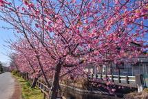 咲き誇る龍巌淵近くの用水路沿いの早咲き桜