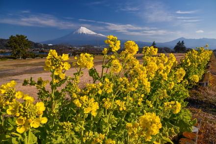 雁堤の土手沿いに咲く菜の花と富士山の風景
