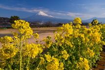 咲き誇る菜の花越しに見る富士山