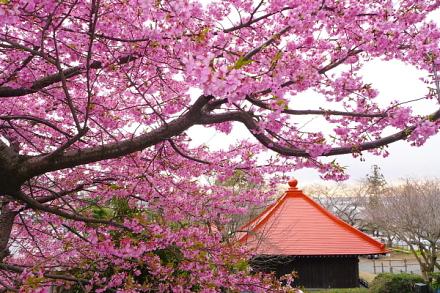 早咲き桜と本堂の風景