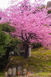 咲き誇る早咲き桜