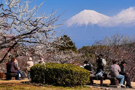 見頃の梅園と富士山