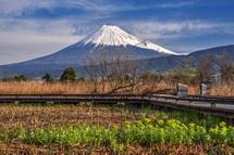 湿原のノウルシと富士山の風景
