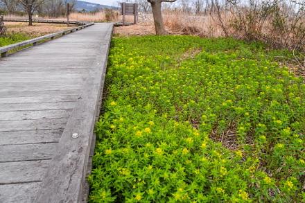 湿原の木道とノウルシ群落