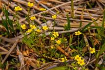 ヒキノカサの黄色い小さな花