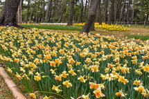 一面に広がる西洋水仙の花