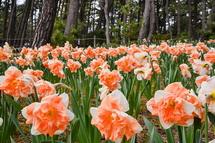 咲き誇る西洋水仙