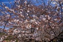 3月27日現在の桜開花状況 岩本山公園