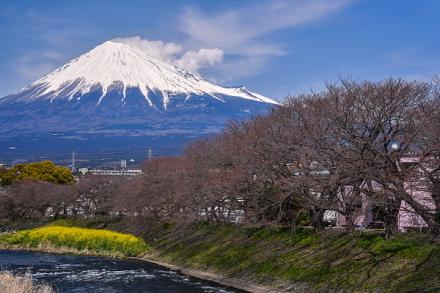 3月27日現在の桜開花状況 潤井川龍巌淵