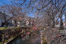 3月27日現在の桜開花状況 吉原小潤井川沿い
