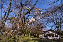 3月27日現在の桜開花状況 広見公園