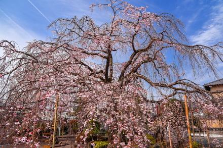本妙寺のしだれ桜 今年は花数が少なめ