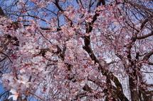 しだれ桜の近くで眺める