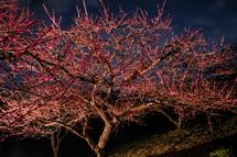 梅の花のライトアップ