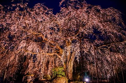 しだれ桜のライトアップ