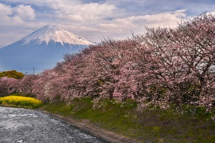 4月1日現在の桜開花状況 潤井川龍巌淵