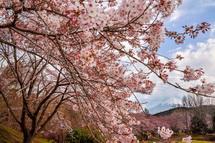 4月1日現在の桜開花状況 岩本山公園