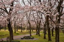 4月1日現在の桜開花状況 広見公園