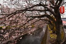 4月1日現在の桜開花状況 吉原小潤井川沿い