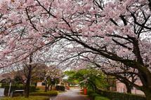 4月2日現在の桜開花状況 米之宮浅間神社・米の宮公園