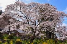 4月2日現在の桜開花状況 興徳寺