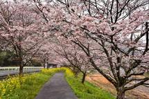 4月3日現在の桜開花状況 稲瀬川沿い