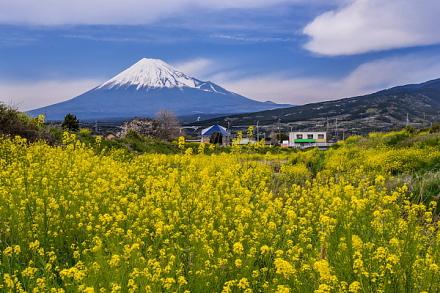 赤淵川に咲く菜の花と富士山の風景