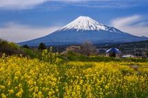 咲き誇る菜の花と富士山のコラボ