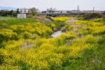 川を埋め尽くすように群生する菜の花