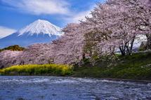 川沿いの桜とその背後の富士山は絵になる風景