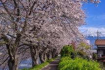 川沿いに続く桜並木