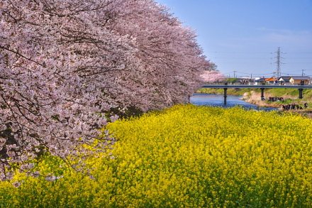 桜とともに菜の花も楽しめる