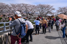 橋の上から思い思いに桜を楽しむ